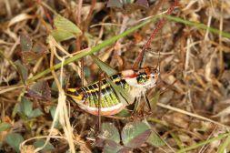 Sichelschrecke (Poecilimon sp.?)