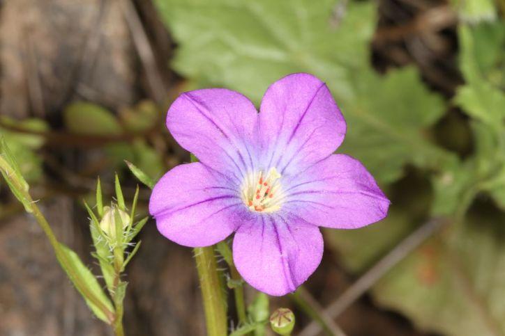 Blüte einer Glockenblume