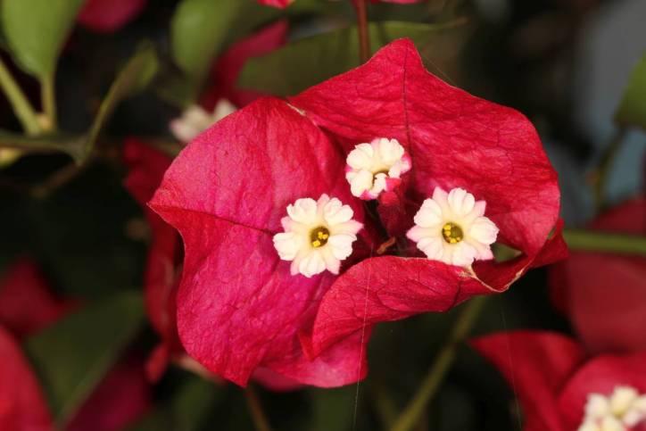 Blüte einer Kahlen Drillingsblume