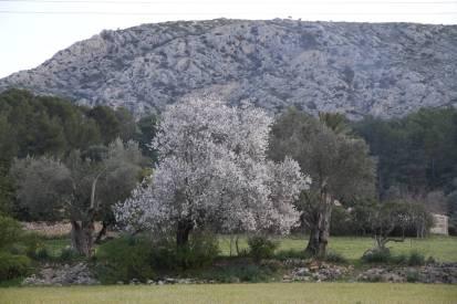 Blühender Mandelbaum und Olivenbäume