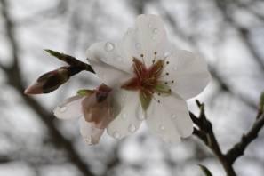 Mandelblüte mit Wassertropfen