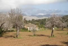 Blühende Mandelbäume