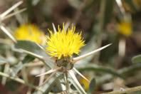Sonnenwend-Flockenblume