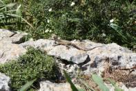 Schleuderschwanz auf Stein