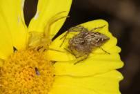 Unheimliche Begegnung zwischen Veränderlicher Krabbenspinne (Goldenrod crab spider / Misumena vatia) und Oxyopes ramosus auf Kronenwucherblume (mit Schiedsrichter?)