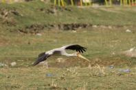 Nimmersatt / Yellow-billed Stork / Mycteria ibis