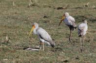 Nimmersatt / Yellow-billed Stork / Mycteria ibis