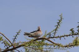 Palmtaube, Senegaltäubchen, Senegaltaube / Laughing dove / Streptopelia senegalensis