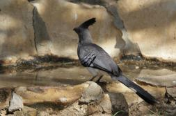 Weißbauch-Lärmvogel / White-bellied go-away-bird / Corythaixoides leucogaster