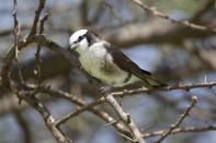 Rüppellwürger / Northern white-crowned shrike, White-rumped shrike / Eurocephalus rueppelli