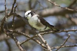 Rüppellwürger / Northern white-crowned shrike, White-rumped shrike / Eurocephalus rueppelli