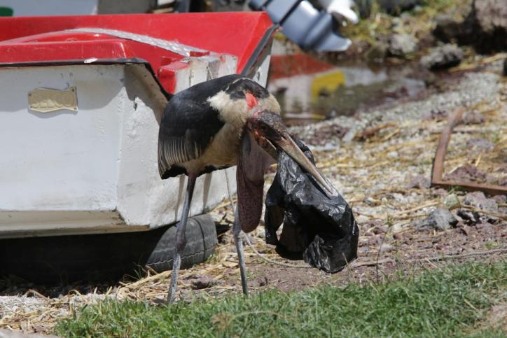 Marabu / Marabou Stork / Leptoptilus crumeniferus