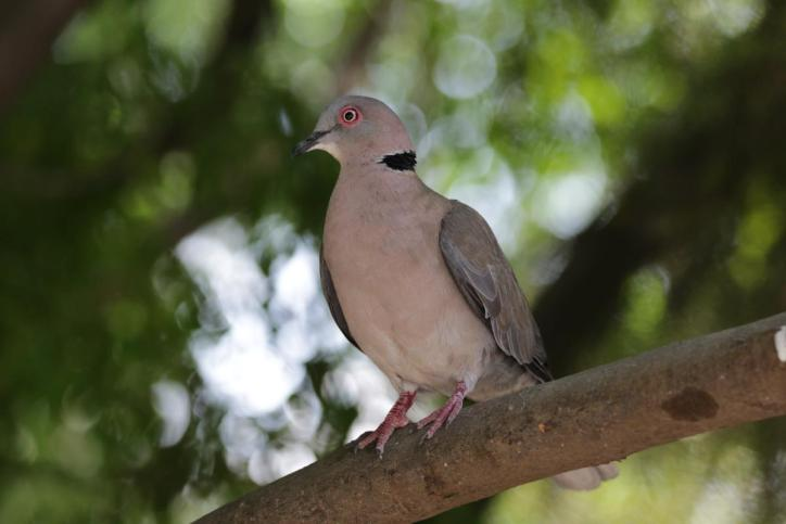 Halbmondtaube / Red-eyed dove / Streptopelia semitorquata