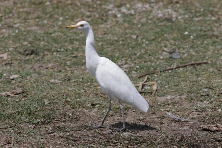 Mittelreiher / Intermediate Egret / Egretta intermedia, Ardea intermedia, Mesophoyx intermedia