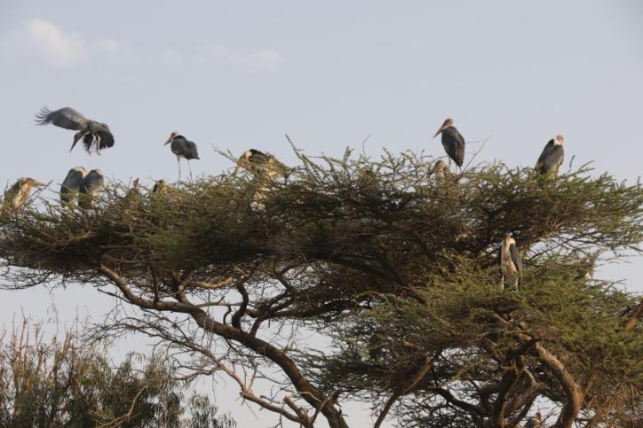 Afrikanischer Marabu / Marabou Stork / Leptoptilus crumeniferus, Leptoptilos crumenifer