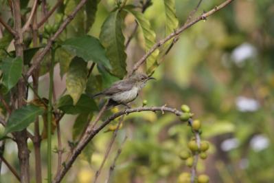 Elfennektarvogel / Beautiful sunbird / Cinnyris pulchellus
