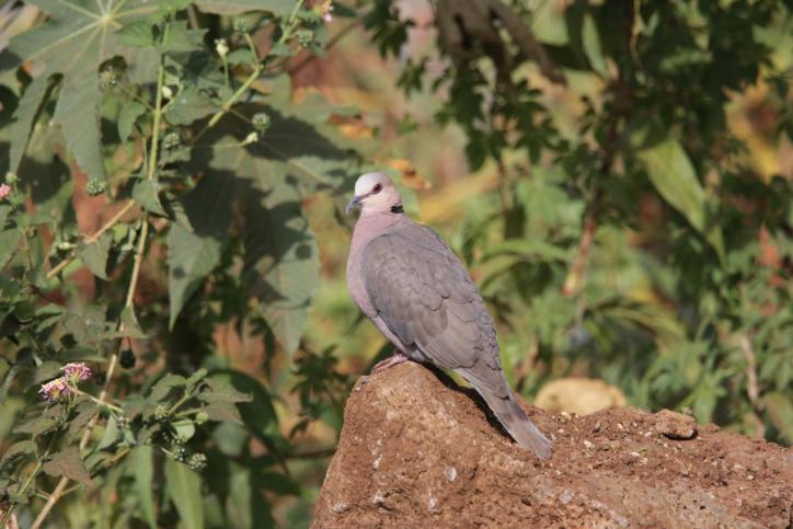 Halbmondtaube / Red-eyed dove / Streptopelia semitorquata
