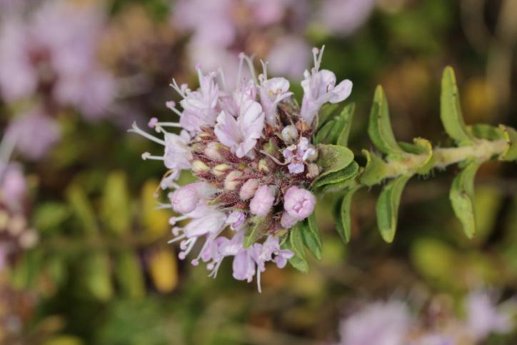 Oregano / Origanum vulgare
