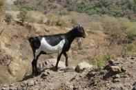 Ziege / Goat / Capra sp.
