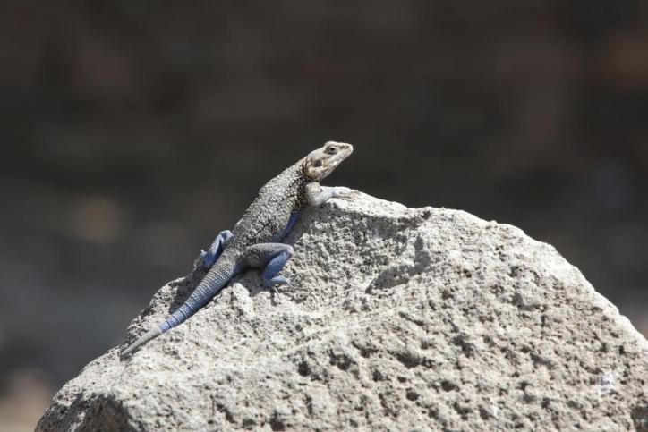 Agamen / Old world arboreal lizards / Agamidae