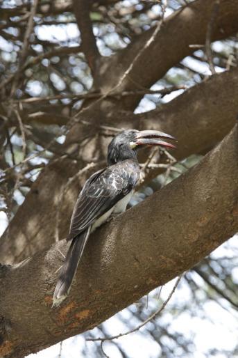 Grautoko / African Grey Hornbill / Tockus nasutus