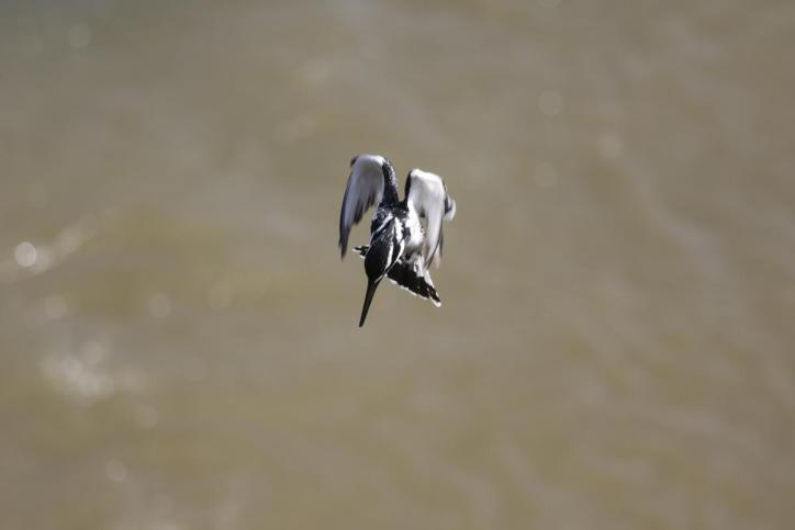 Graufischer / Pied Kingfisher / Ceryle rudis