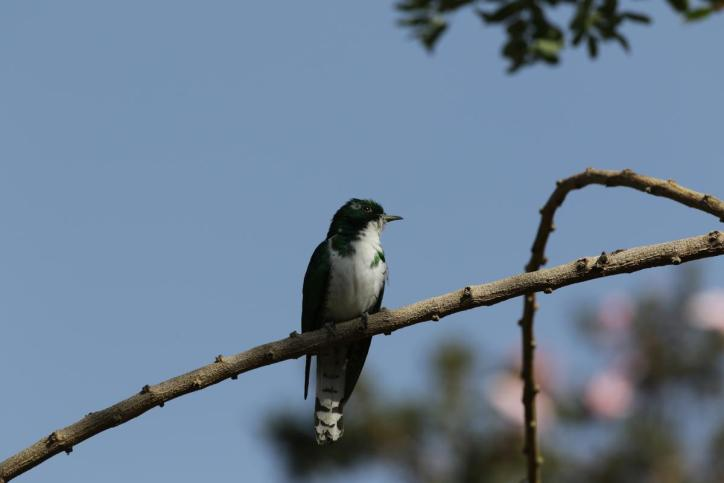 Klaaskuckuck / Klaas's cuckoo / Chrysococcyx klaas