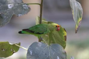 Tarantapapagei / Black-winged lovebird / Agapornis taranta
