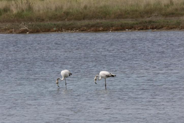 Kubaflamingo, Roter Flamingo / American Flamingo / Phoenicopterus ruber