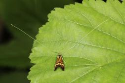 Longhorn moth / Nemophora degeerella