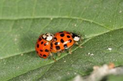 Asiatischer Marienkäfer / Asian lady beetle, Harlequin ladybird, Multocolored Asian lady beetle, Halloween lady beetle, Multivariate ladybird, Southern ladybird, Japanese ladybird, Pumpkin ladybird / Harmonia axyridis