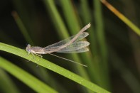 Gemeine Winterlibelle / Common winter damselfly / Sympecma fusca