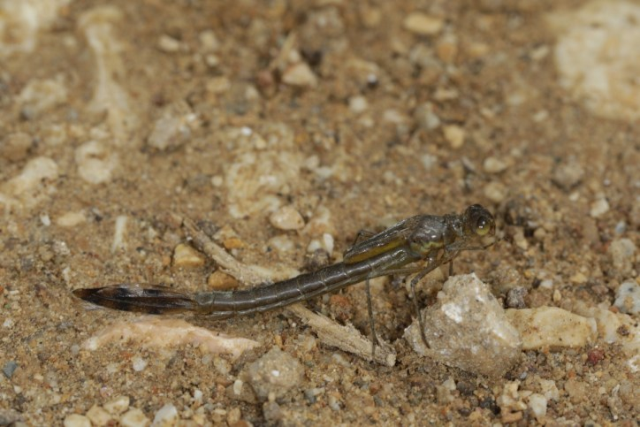 Kleinlibellen / Damselflies / Zygoptera