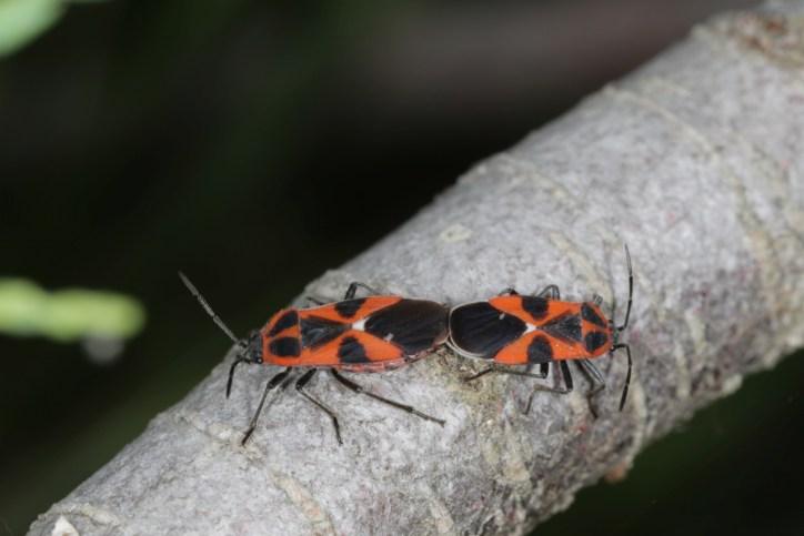 Wanzen / Stink Bug / Heteroptera