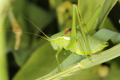 Sichelschrecken / False katydids / Phaneropterinae, male