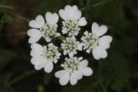 Strahlen-Breitsame / Orlaya grandiflora, Caucalis grandiflora