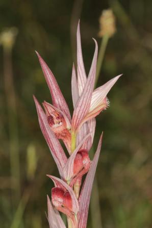 Pflugschar-Zungenstendel / Long-lipped serapia, Plough-share serapia / Serapias vomeracea