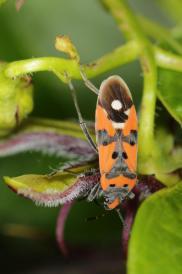 Ritterwanze / Black-and-red-bug / Lygaeus equestris