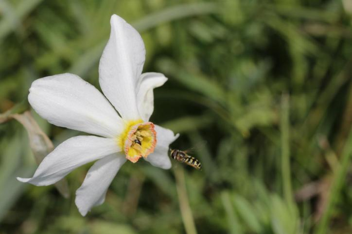 Weiße Narzisse, Dichter-Narzisse, Montreux-Narzisse, Echte Narzisse / Poet's daffodil, Poet's narcissus, Nargis, Pheasant's eye, Findern flower, Pinkster lily / Narcissus poeticus