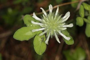 Weiß-Klee, Kriech-Klee / White clover, Dutch clover, Ladino / Trifolium repens