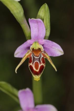 Ragwurzen, Kerfstendel / Bee orchids / Ophrys
