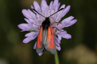 Thymian- oder Bibernell-Widderchen / Transparent burnet / Zygaena purpuralis/Zygaena minos