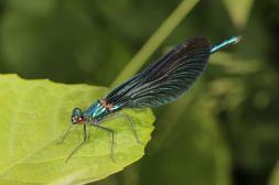 Blauflügel-Prachtlibelle / Beautiful Demoiselle / Calopteryx virgo