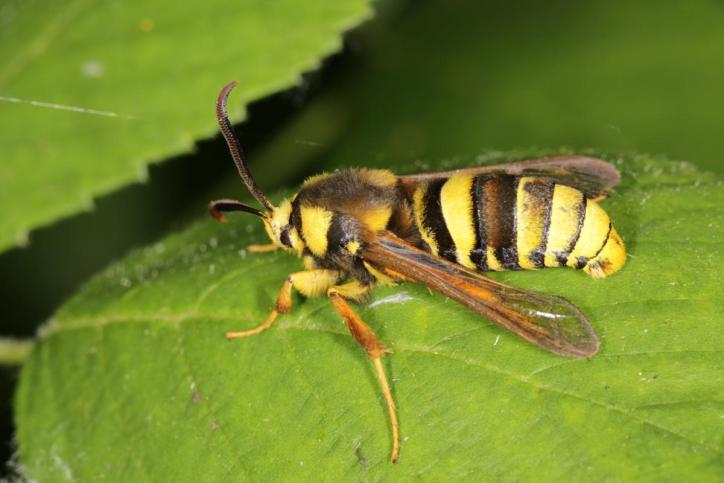 Hornissen-Glasflügler / Hhornet moth, Hornet clearwing / Sesia apiformis