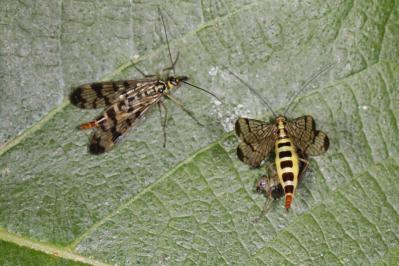Gemeine Skorpionsfliege / Common scorpionfly / Panorpa communis
