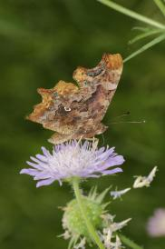C-Falter / Comma / Polygonia c-album, Nymphalis c-album
