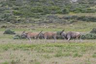 Elenantilope / Common Eland / Taurotragus oryx