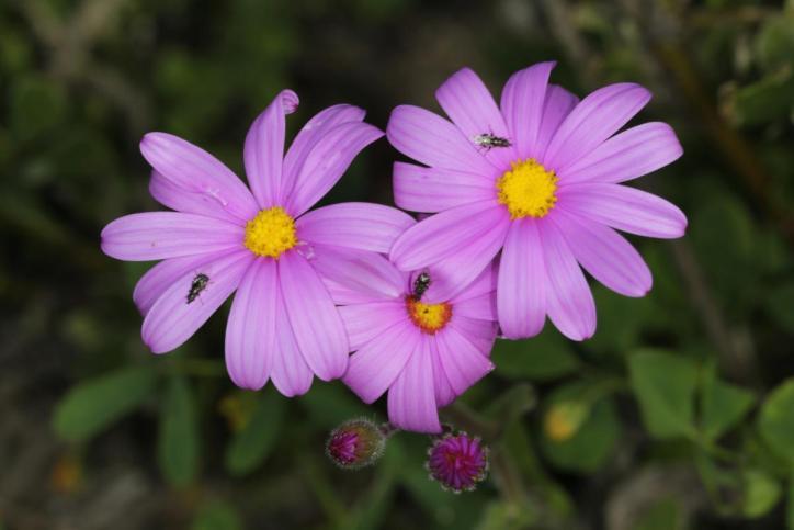 Redpurple ragwort / Redpurple ragwort, Purple groundsel, Wild cineraria / Senecio elegans
