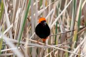 Oryxweber / Southern red bishop / Euplectes orix
