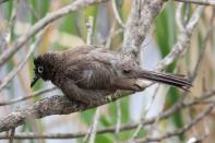 Kapbülbül / Cape Bulbul / Pycnonotus capensis